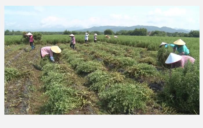 海丰广播电视报道 :平东1500亩甜叶菊喜获丰收