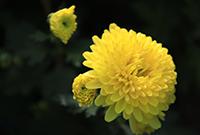 2018增城蜜菊种植有机检测报告