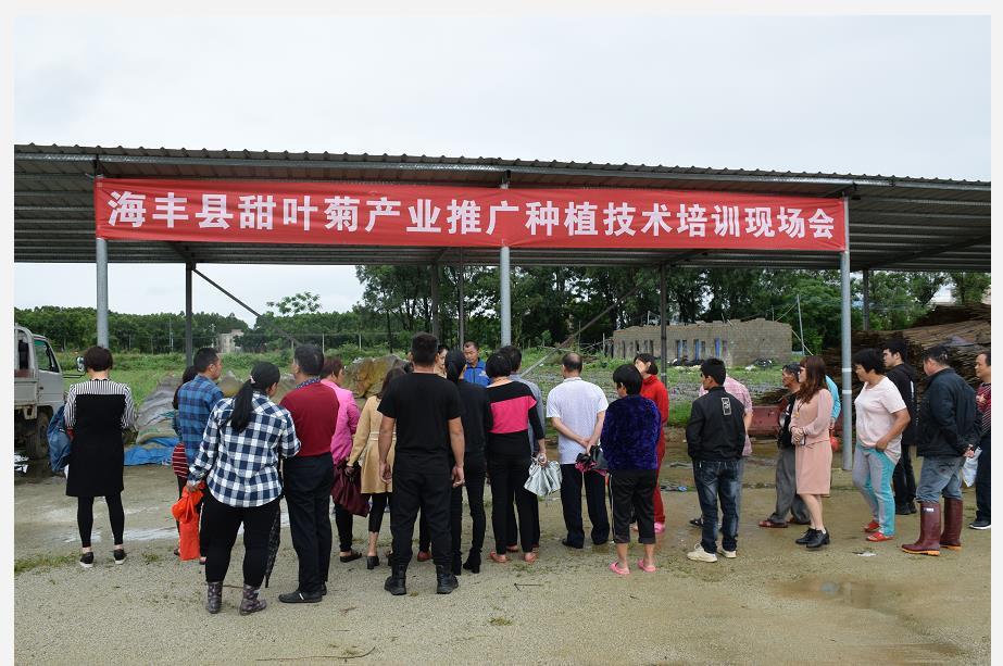 2019年5月海丰县甜叶菊产业推广种植技术培训现场会